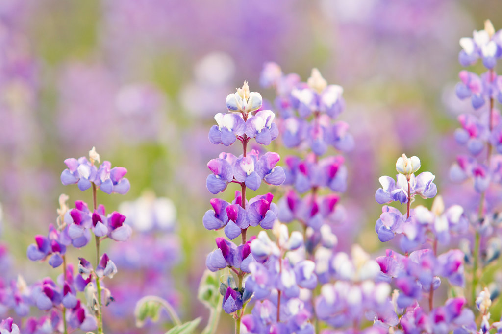 Field of Purple and violet wildflowers